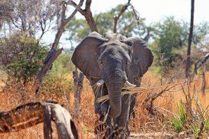 africa-animal-elephant-