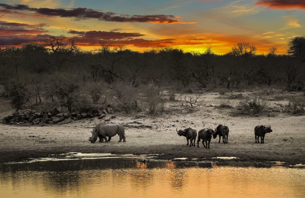 Rhino, buffalo, sunset, bush, safari, water