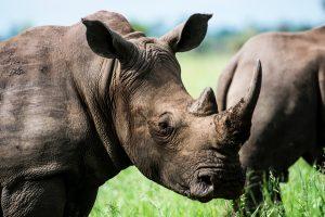Rhino, rhino horn