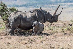 Rhino, rhino conservation, baby rhino, safari, bushveld